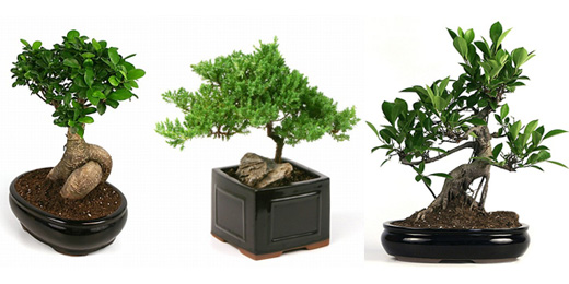 ficus juniper bonsai trees